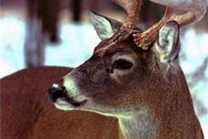 Deer Widows_2589231895048176874