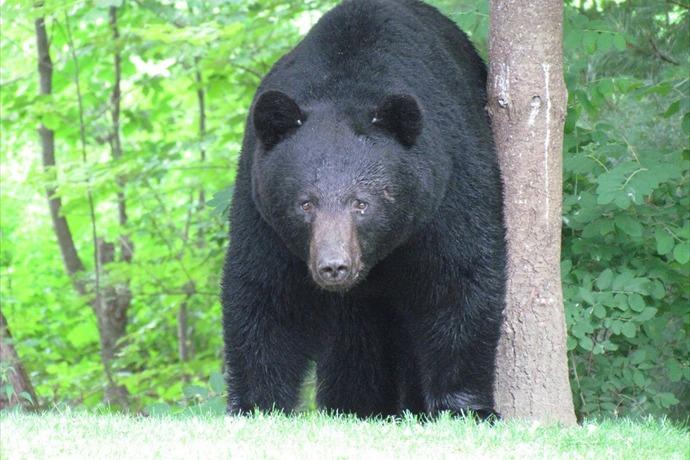 American Black Bear_-6709685095587688712