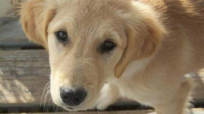 golden-retriever-dog-closeup-jpg_20160420184006-159532