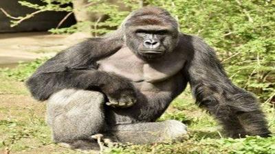 Harambe-Cincinnati-Zoo-gorilla-jpg_20160529213340-159532