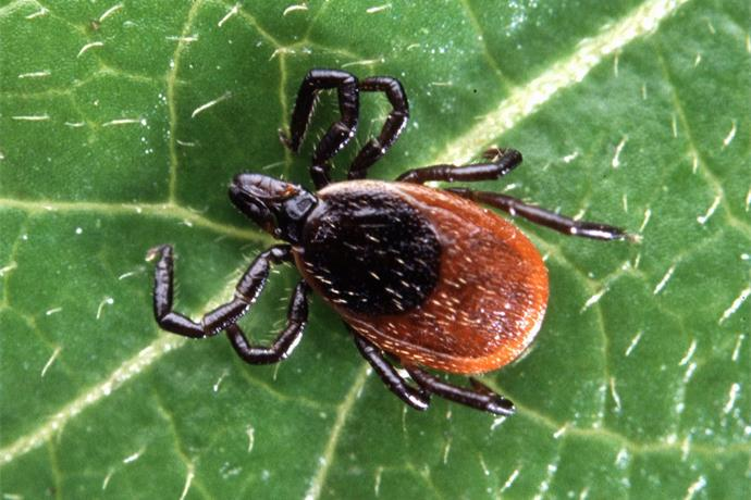 Local Doc Says Lyme Disease is Common in Region_3817688371679545984