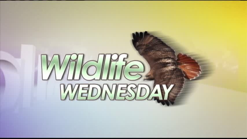3-22 Wildlife Wednesday- Cooper-s Hawk_16897546