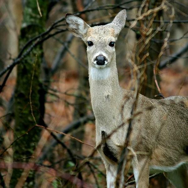 doe hunting_1499475724506.jpg
