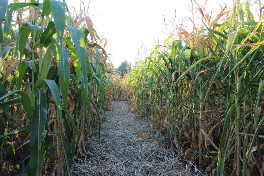 corn maze_1505270600605.jpg