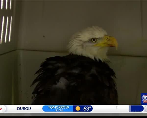 Hunters' ammunition severely injuring bald eagles