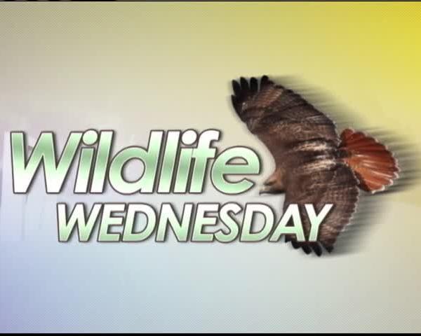 3-22 Wildlife Wednesday- Cooper-s Hawk_16897546