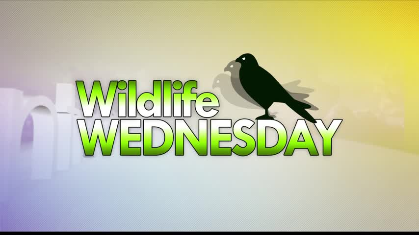 11-8 Wildlife Wednesday- Saw Whet Owl Release_63834461