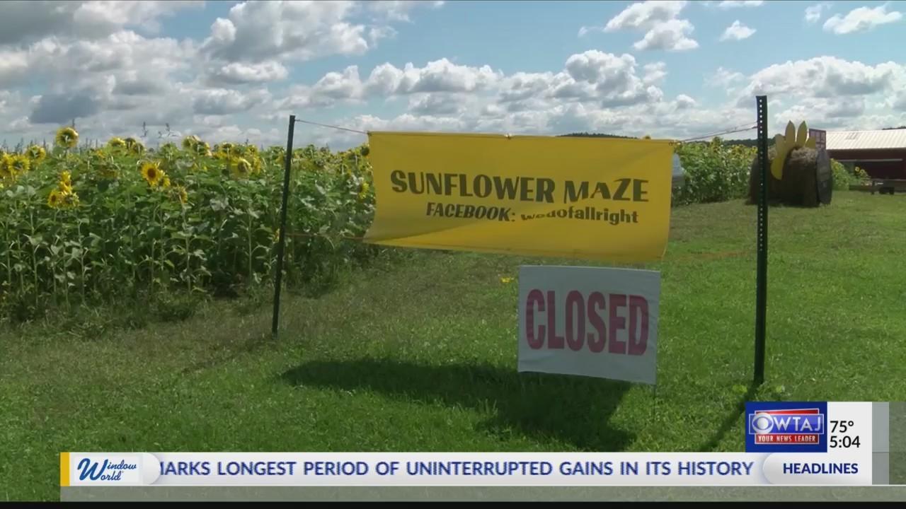 Smithmyer's sunflower maze closes