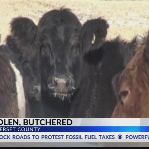 Cow stolen, butchered