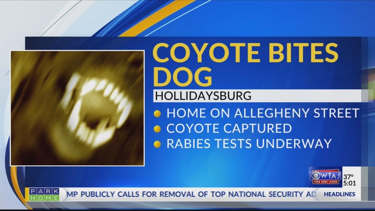 Coyote_bites_dog_0_20181113225542