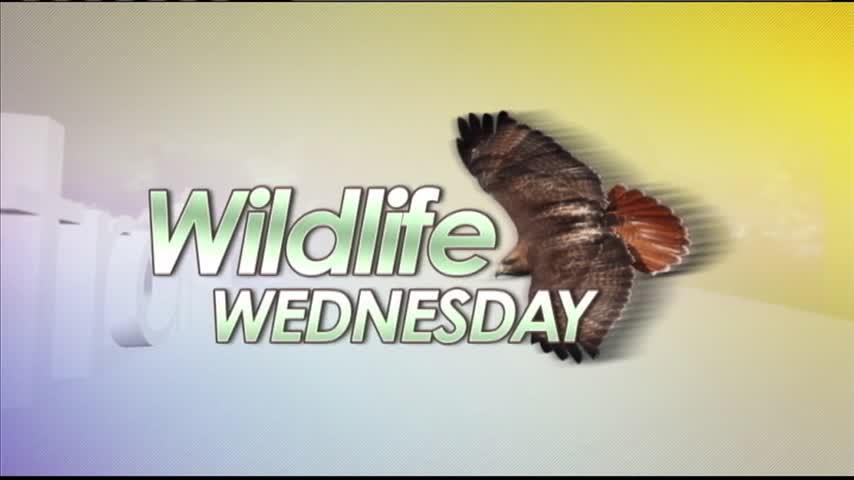 2-8 Wildlife Wednesday- Betsy the Bat_75872429