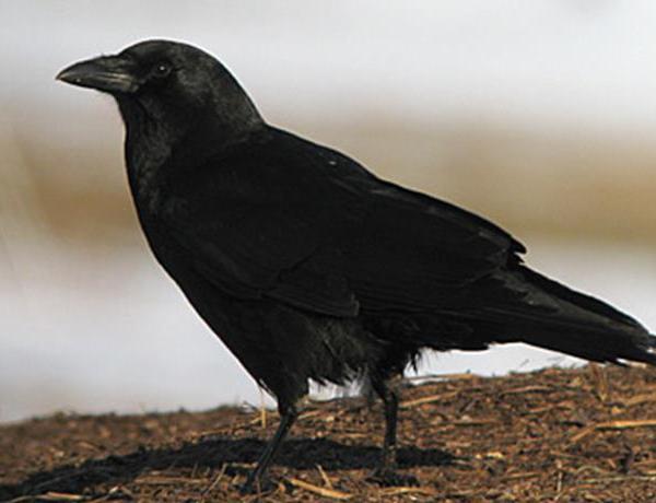 Crow Relocation Program_-2406623795932543051