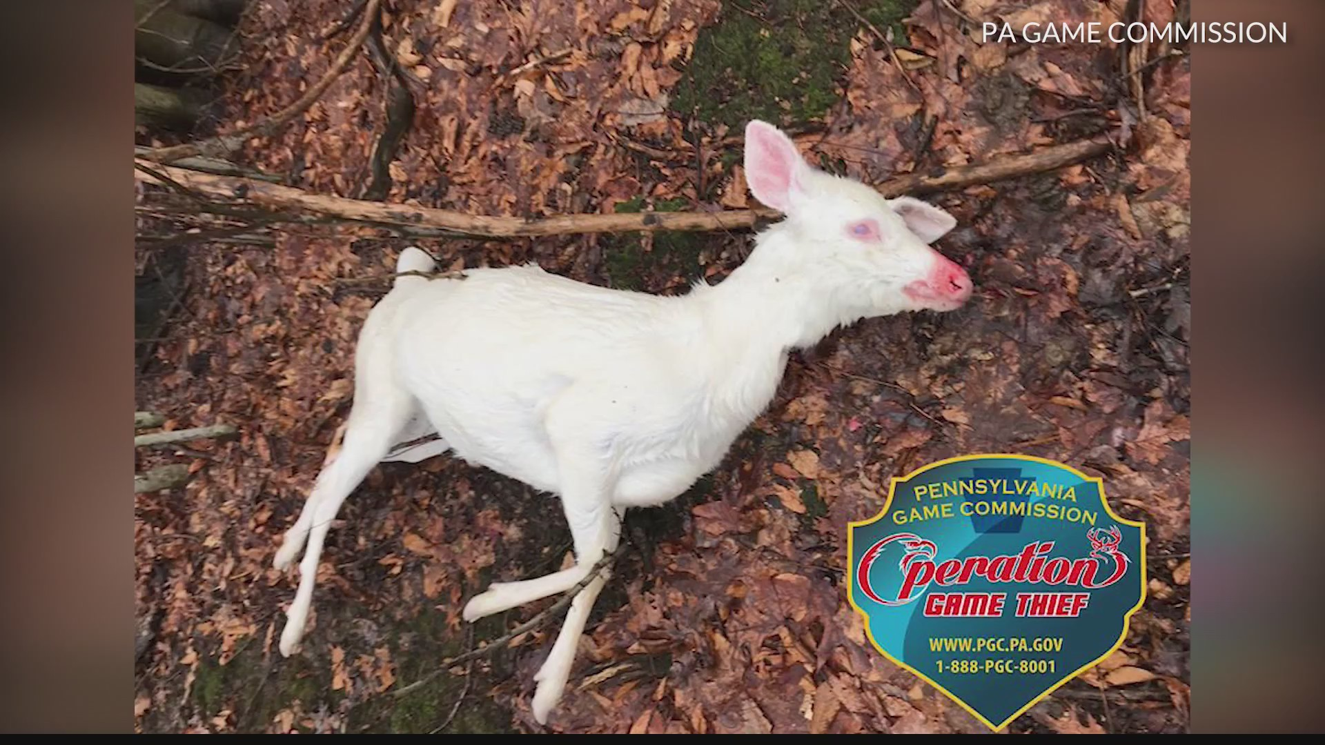Officials offering $1,500 reward for info on albino deer killed