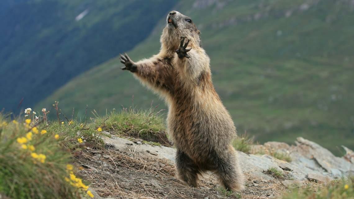 WEB19-WeatherClimate-Groundhog-Marmot-3675x2068_1549483819453.jpg