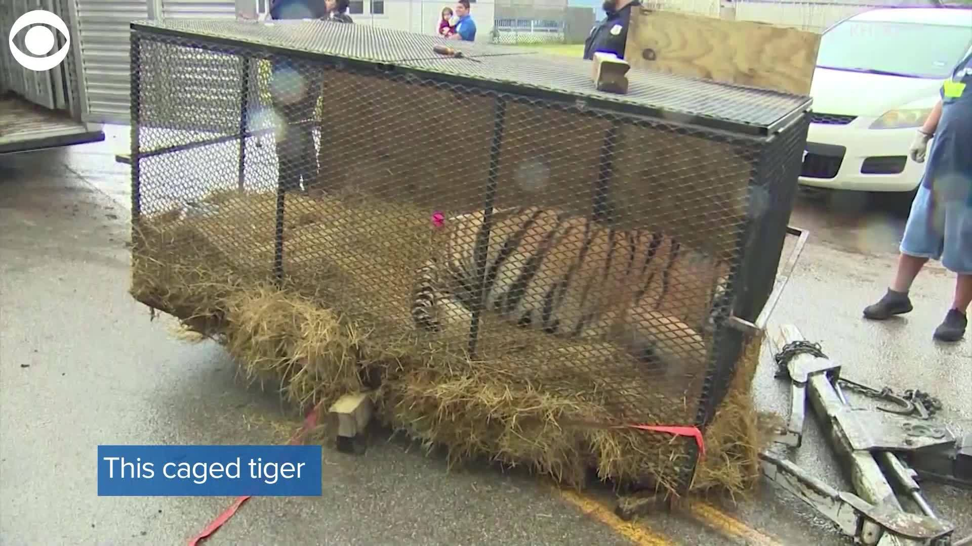 WEB_EXTRA__Tiger_found_in_vacant_home_0_20190212215248