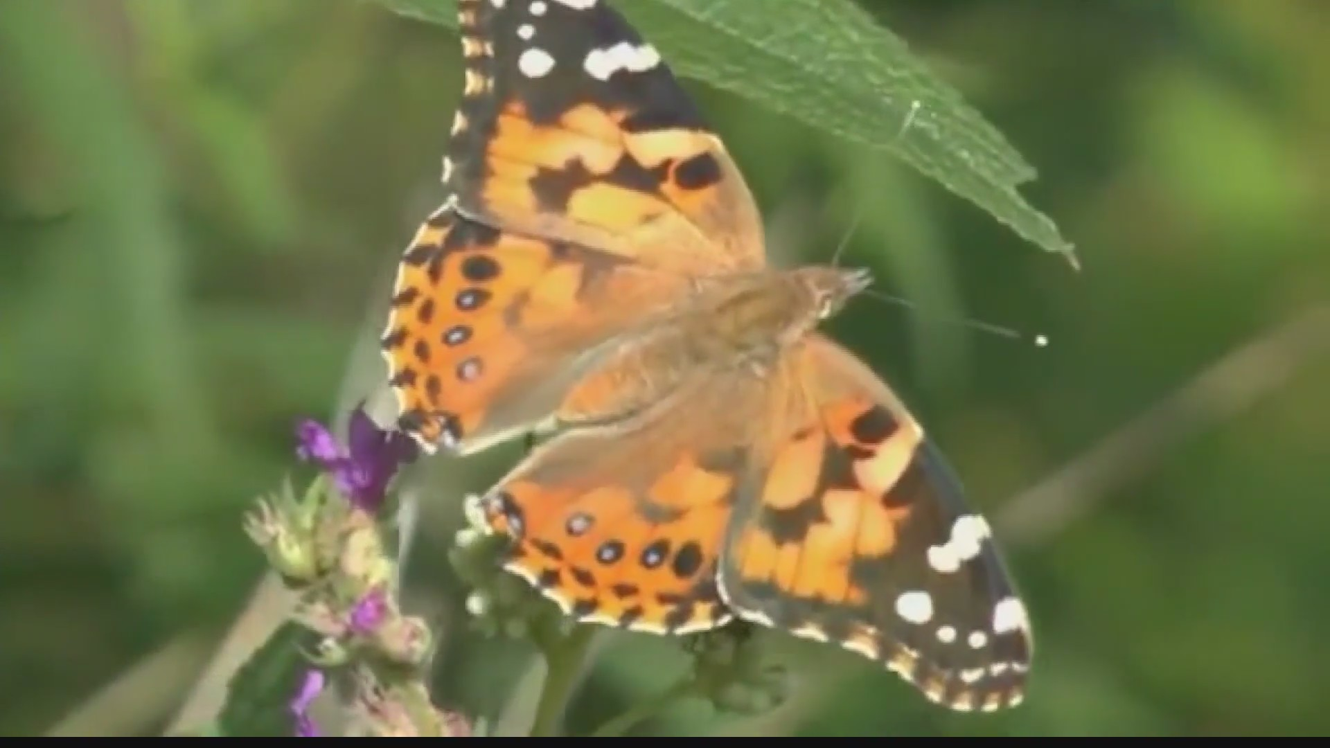 Butterflies swarm super bloom
