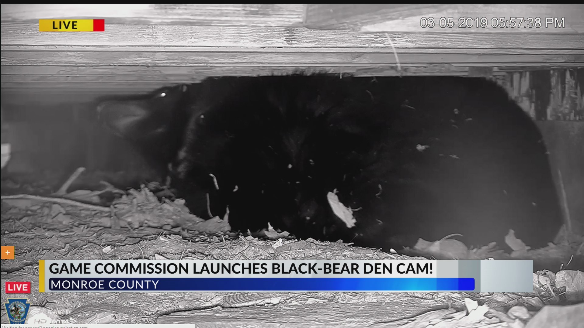 Game Commission launches black bear den cam