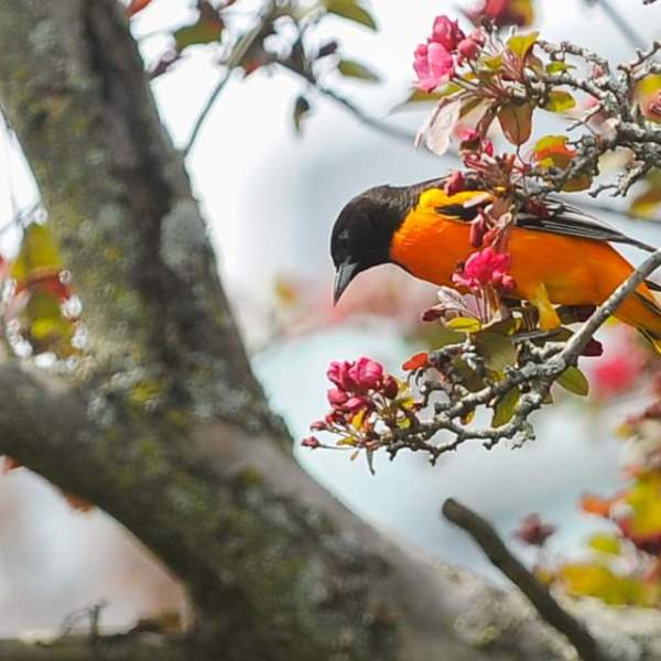WEB19-WeatherClimate-BaltimoreOriole-SpringBloom-4200x2363_1553717826803.jpg