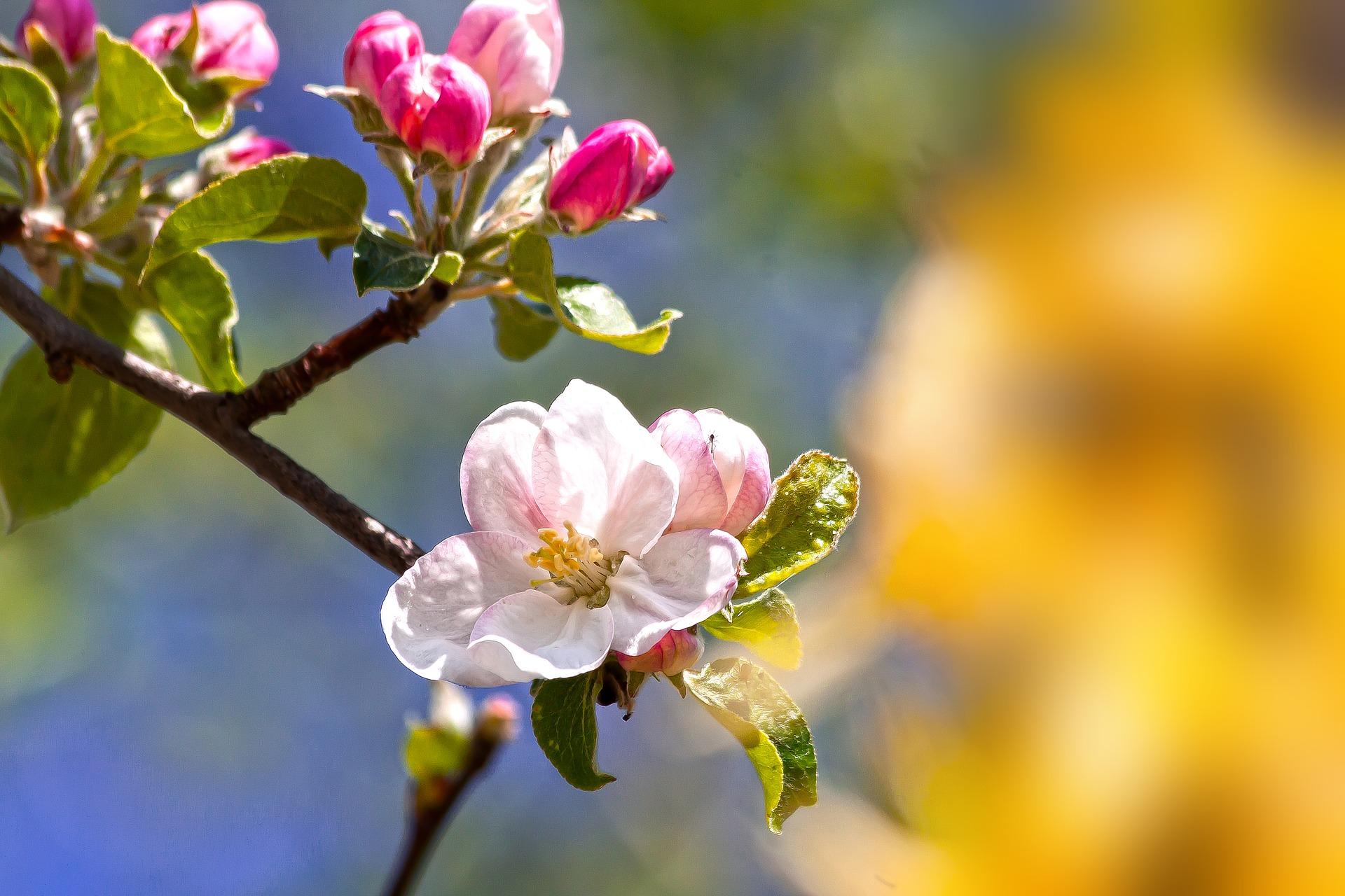 apple-blossom-4131785_1920_1556129993340.jpg
