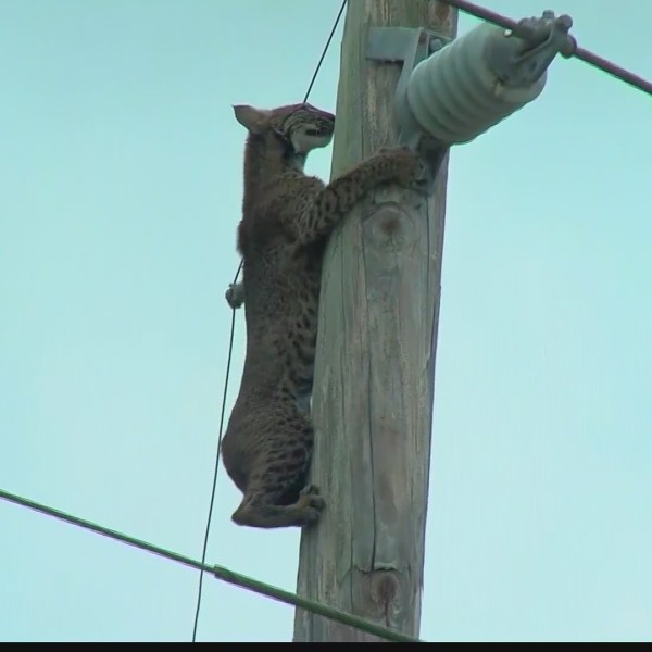 Bobcat rescued from telephone pole
