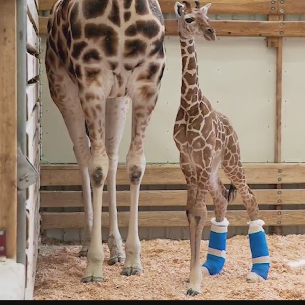 Giraffe Therapeutic Shoes