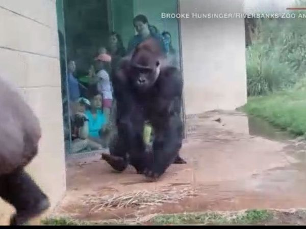 Gorilla dodges rain