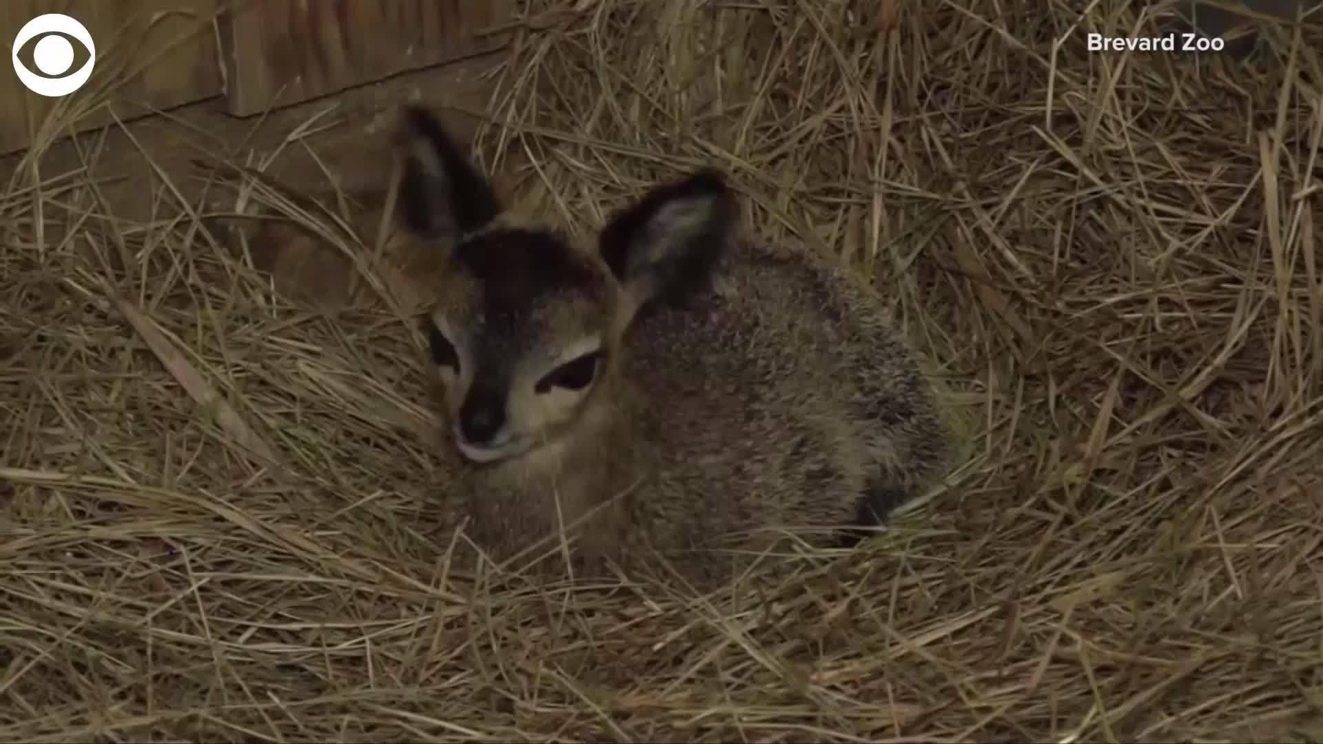 WEB EXTRA: Baby klipspringer born