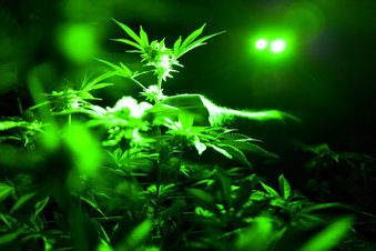 Marijuana Opioids_1560242851121