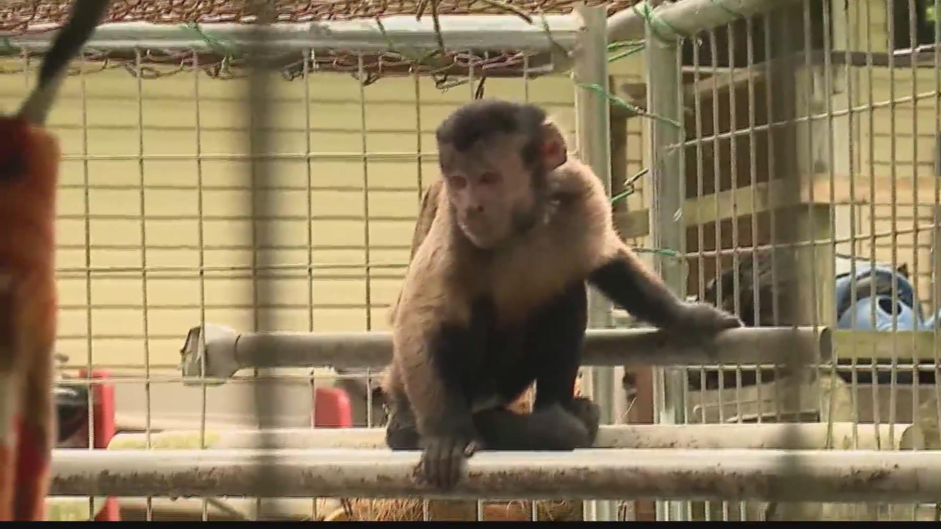 Runaway_monkey_captured_in_Ohio_0_20190611092711