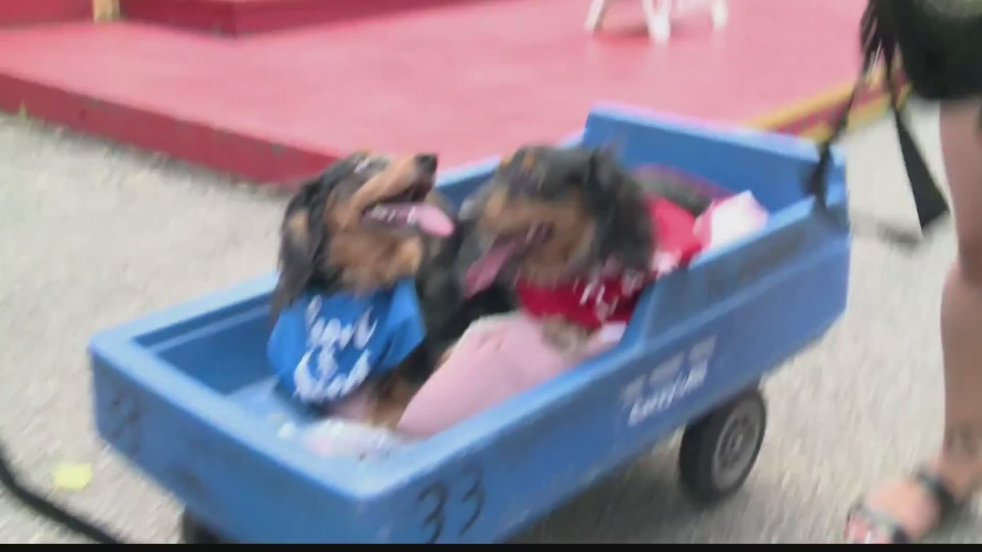 """Dogs compete in """"Weiner 100 Dachshund race"""" at Kennywood Park 